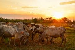 Cow grazing Stock Photo