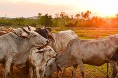 Cow grazing Stock Image