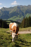 Cow Grazing in Switzerland Stock Photo