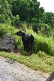 Cow grazing in tall Grass on a hillside stock photos
