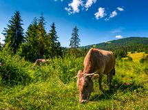 Cow grazing in a tall grass near the forest. Beautiful summer scenery in mountains royalty free stock photos