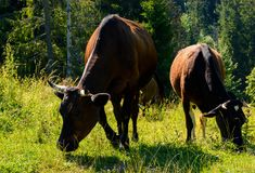 Cow grazing in a tall grass near the forest. Beautiful summer scenery in mountains Stock Images