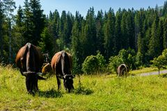 Cow grazing in a tall grass near the forest. Beautiful summer scenery in mountains Stock Image