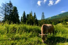 Cow grazing in a tall grass near the forest. Beautiful summer scenery in mountains Royalty Free Stock Photography