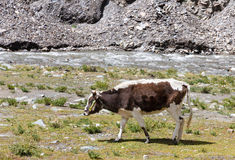 Cow grazing on the Tibetan plateau near a river Royalty Free Stock Images