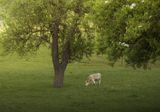 Cow grazing under tree in spring Stock Photos