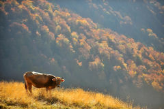 Cow grazing up the mountain in autumn Royalty Free Stock Image
