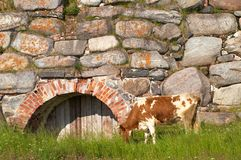 Cow grazing by wall Royalty Free Stock Photo