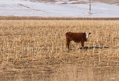 Cow grazing winter Stock Image