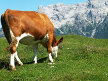 Cow at a great height Stock Image