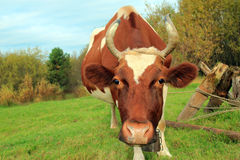 Cow on a green beam Royalty Free Stock Photography
