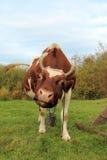 Cow on a green beam Stock Photos