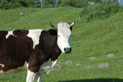 Cow on the green field. A black and white cow standing on the green field royalty free stock photography