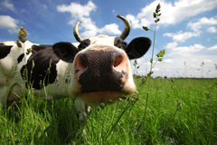 Cow in green field Royalty Free Stock Images