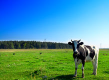 Cow on green field Stock Photography