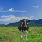Cow on a green field against mountains Royalty Free Stock Photography