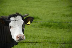 Cow on a green field. Beautiful Polish cows and bulls on a green field royalty free stock photography