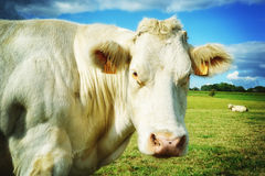 Cow at green field Royalty Free Stock Photography
