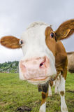 Cow in green field Stock Images