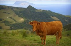 Cow in green field eating grass on Azores island Royalty Free Stock Images