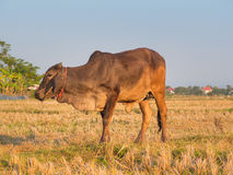 Cow on green field meadow. Royalty Free Stock Photography