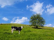 Cow on a Green Field Stock Photography