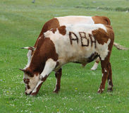 A cow on green grass Stock Photo