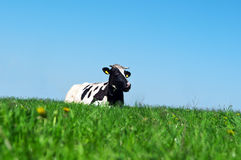 Cow on green grass Stock Photography