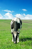 Cow on green grass Royalty Free Stock Photos