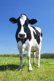 Cow in the green grass Royalty Free Stock Images