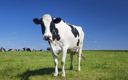 Cow on green grass with blue sky Royalty Free Stock Image