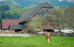 Cow on green grass.Coe eats grass in fron of the farm haus Royalty Free Stock Photography