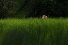 Cow on green grass field. Royalty Free Stock Image