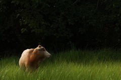 Cow on green grass field. Stock Photo