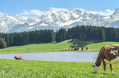 Cow on green grass at lake shore and alpine mountains. Stock Photo