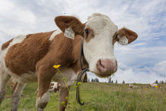 Cow. A cow on the green grass of a meadow in the Tirolean alps Stock Photography