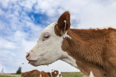 Cow. A cow on the green grass of a meadow in the Tirolean alps Royalty Free Stock Photography