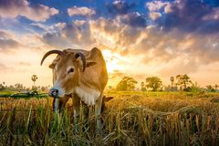 Cow on green grass and morning sky with light stock photos