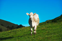 Cow on green grass pasture Stock Images