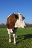 Cow on green grass Royalty Free Stock Photography