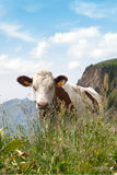 A cow on green lush meadow Royalty Free Stock Photo