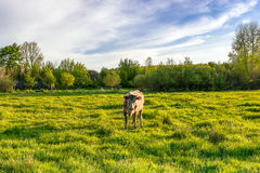 Cow on a green lush meadow Stock Photos