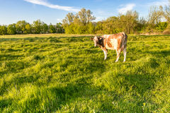 Cow on a green lush meadow Royalty Free Stock Photos
