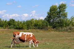 Cow on green meadow. Cow on the beautiful grassland Stock Photo