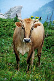 Cow on the green meadow Royalty Free Stock Photos