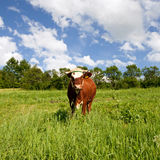 Cow on green meadow Royalty Free Stock Photos