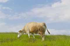 Cow on green meadow Stock Photo