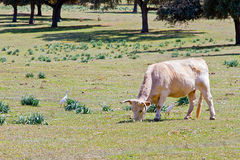 Cow on a green meadow Stock Photography