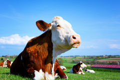 Cow on a green meadow Stock Image