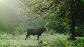 Cow on a green meadow eating fresh leaves from the tree stock video